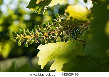 Small green bunch of grapes and leaves on vineyard in backlight