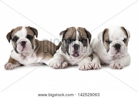 Three purebred six weeks old English Bulldog puppies isolated on white background