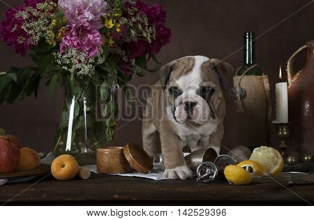 Purebred English Bulldog puppy standing on the table with fruit flowers candles and wine in classical Dutch style