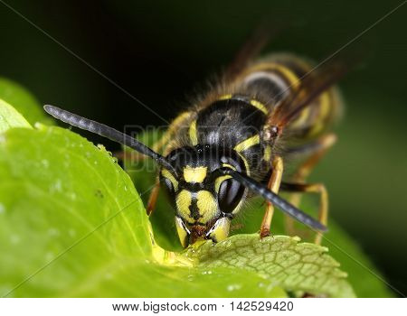 Busy wasp eating sweet nectar on green leaf macro close-up