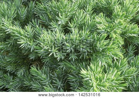 Juniperus communis - evergreen juniper tree green branch in the garden. Bush photo