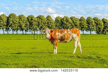 Young red cow poses for the photographer in green meadow with a row of trees on the embankment in the background. It's a sunny day in the summer season.