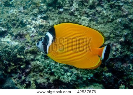Yellow Chumphon Butterflyfish or Honking Butterflyfish from Gulf of Thailand, Chumphon, Thailand