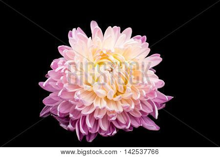 beautiful chrysanthemum isolated on a black background