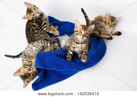 Four Bengal kitten playing in the towel