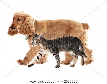 Cute cocker spaniel dog and beautiful tabby cat together on white background. Animal friendship concept.