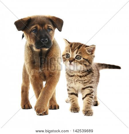Cute little puppy and adorable tabby kitten together on white background. Animal friendship concept.