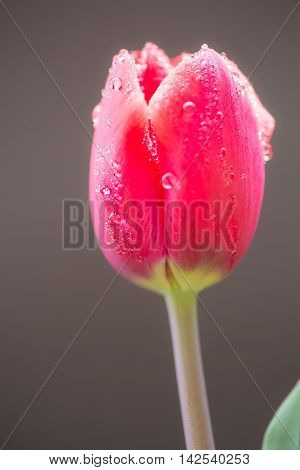 Stock photo material obtained by photographing the tulip.
