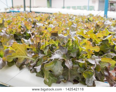 Hydroponics vegetables (red oak), Healthy Food, Located outdoors.
