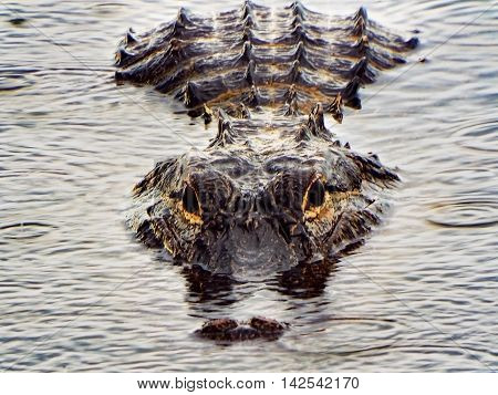 Alligator close up in South Florida.  Fort Myers.