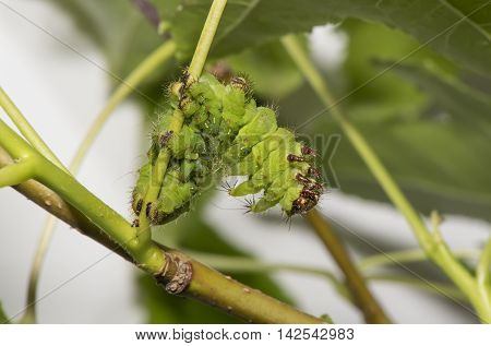 African Moon Moth Caterpillar On A Plant Stem
