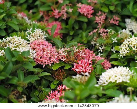 Pink and white Ixora coccinea or West Indian Jasmine with leaves