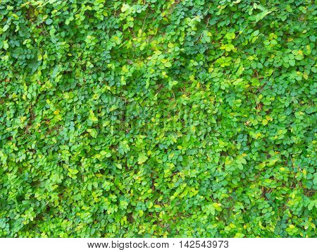 ivy on Walls made of cement in the park.