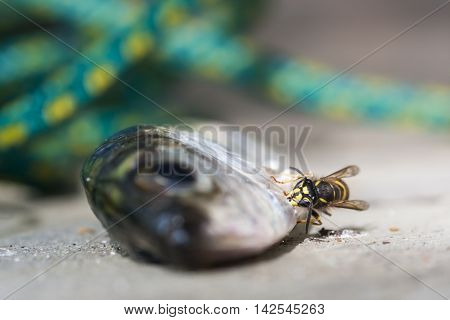 Hornet is biting scales of a fish