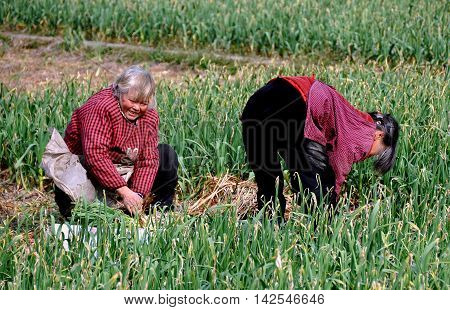 Pengzhou, China - January 25 2014: Two Chinese women working in a field harvesting green garlic on a Sichuan province farm in Jun Le Town