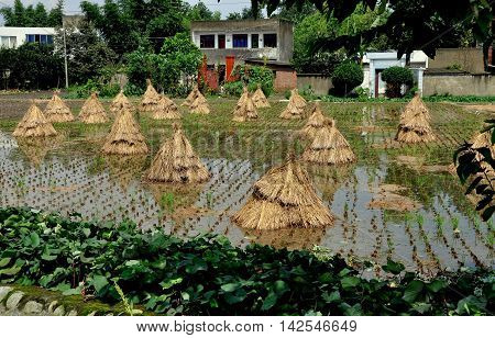 Pengzhou China - September 17 2010: Rice plant stalks are bundled together in stacks and left sitting in a draining rice paddy to dry in the sun on a Sichuan Province farm