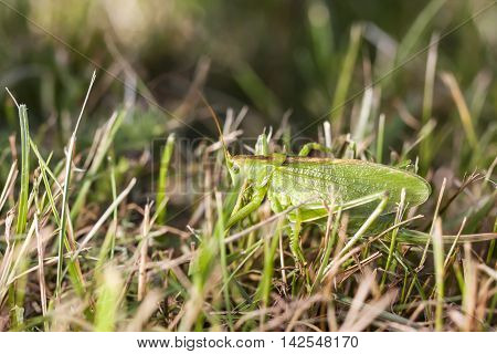 Closeup of a large green grasshopper on a grass