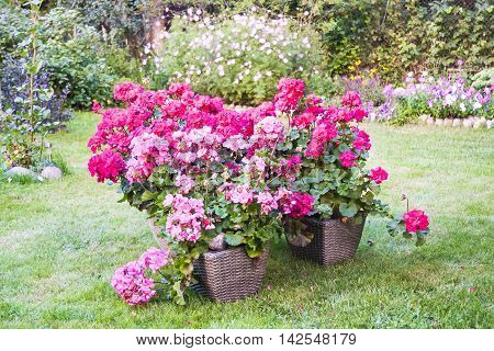 Many large blooming pink pelargonia flowers in a garden