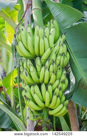 vertical photo of bunch of green bananas on the tree.
