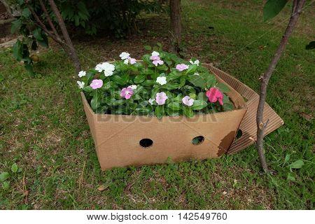 pervinca flowering in carton box, Serbia