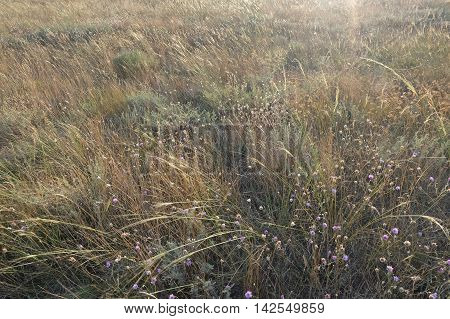feather grass or mat grass feather grew up in the steppe
