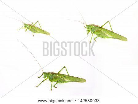 set of three photos of a large green grasshopper on a white background. Tettigonia viridissima. not isolated