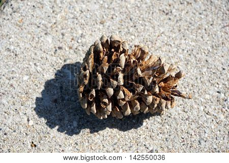 The cone of a red pine tree (Pinus resinosa) lies on a sidewalk in the Wesmere Country Club subdivision of Joliet, Illinois.