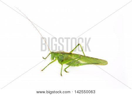 big green grasshopper on a white background. Tettigonia viridissima. not isolated