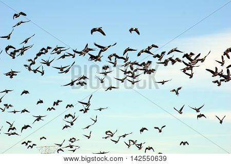 Flocks of migrating Canada geese (Branta canadensis) fly over Joliet, Illinois while on their seasonal southward migration.