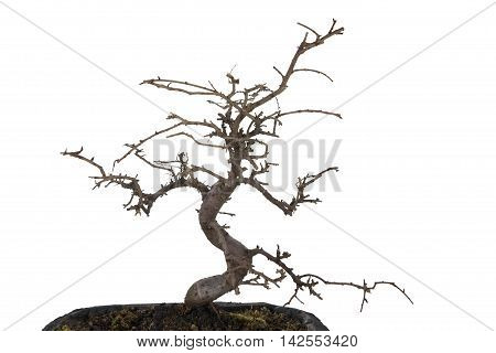 Bonsai tree pruned and withered on white background.