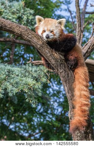 Red Panda laying on a branch in a tree