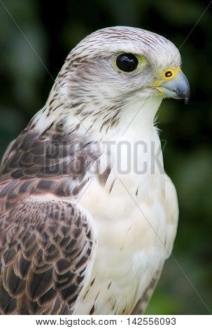 Gyr X Saker Falcon (Male) Bird Of Prey