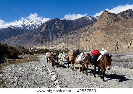 Jomsom, Nepal - November 3, 2014: Group of donkeys carrying luggage on the Annapurna Circuit