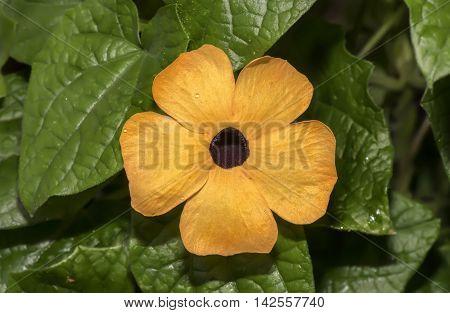 Blackeyed Susan Vines, Thunbergia Alata, Close Up