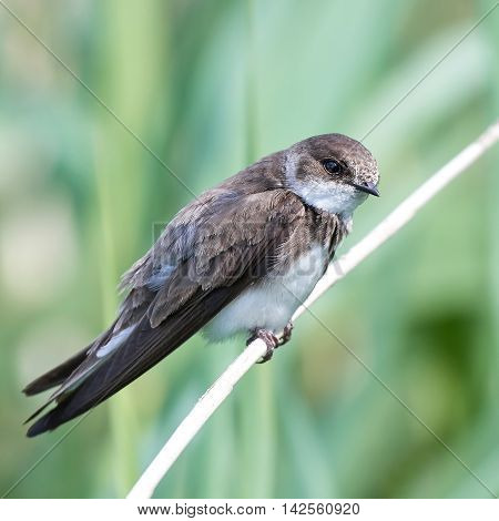 European sand martin (Riparia riparia) sitting on a branch with vegetation in the background