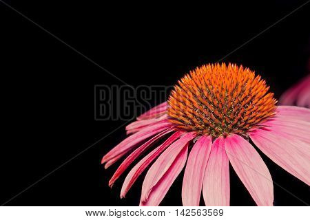 Flower of pink Echinacea closeup on a dark background
