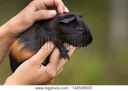 hands holding young tortoiseshell guinea pig on green blurred background
