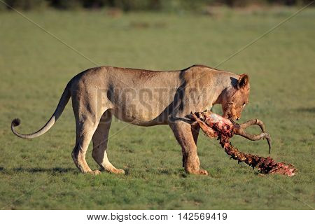 A lioness (Panthera leo) with the remains of antelope prey, Kalahari, South Africa