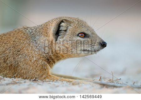 Portrait of a yellow mongoose (Cynictus penicillata), Kalahari desert, South Africa
