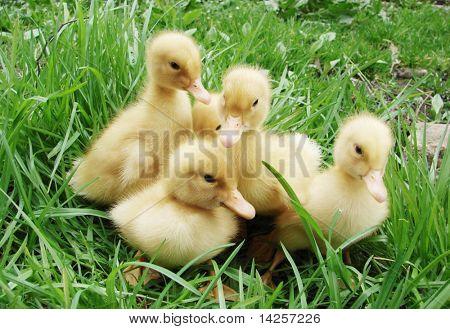Cute little ducklings walking through the grass.