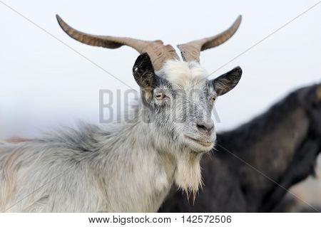 Goat In Mountain. Autumn Season