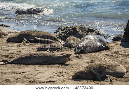 Elephant seal harem with blue alpha male during mating season on California coast