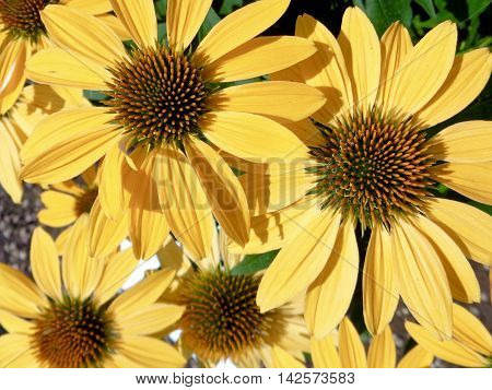 Sunlight hitting yellow echinacea flowers in a garden