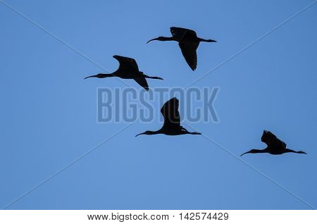 Flock of Four White-faced Ibis Silhouetted in a Blue Sky