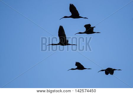 Flock of Five White-faced Ibis Silhouetted in a Blue Sky
