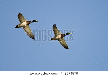 Synchronized Flying Demonstrated by Two Mallard Ducks