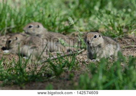 Family of Little Ground Squirrels Clustered Around Their Hole