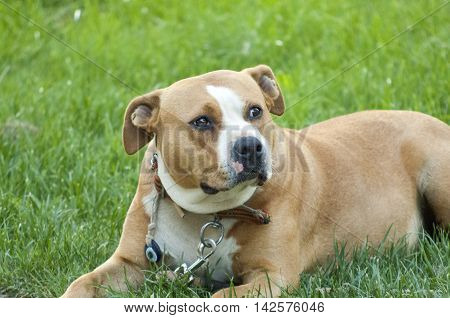 picture of a beautiful brown stafford dog female