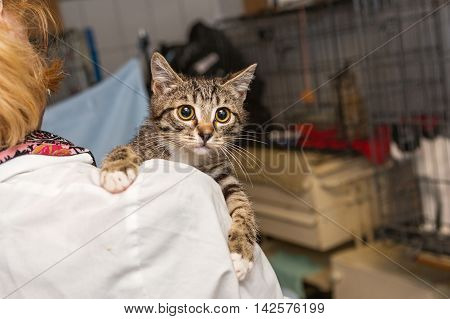 Small frightened kitten into the hands of the physician of the shelter for homeless animals