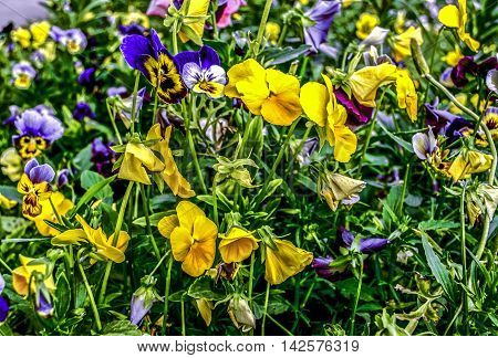Bright background of yellow and purple pansies in the grass